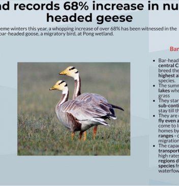bar headed geese
