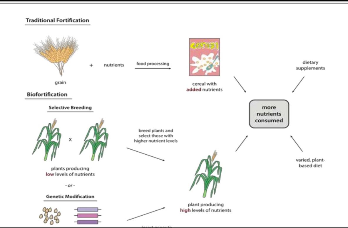 biofortification vs fortification