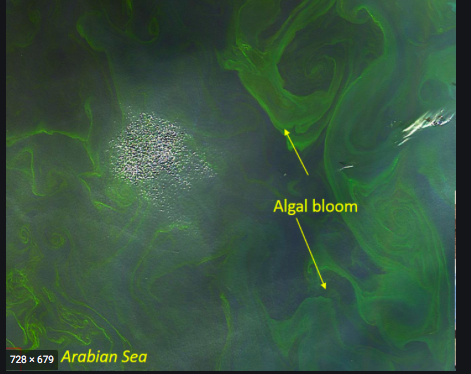 algal bloom incois